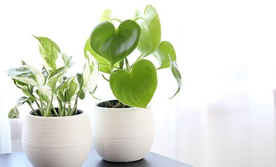 観葉植物・鉢物(胡蝶蘭・シンビジュウム)